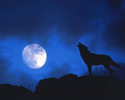 wolf99719