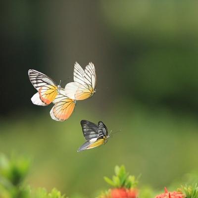 16695_butterfly dance 04_8286